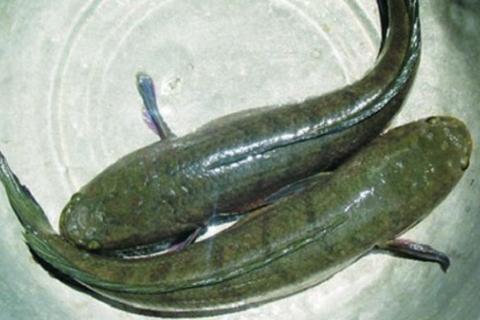 Cá Quả