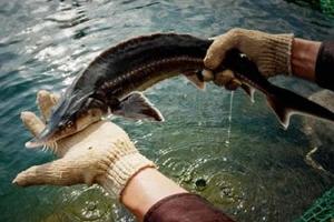 Cá tầm SaPa