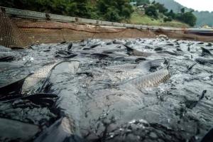 Cá trắm đen CHUẨN Sông Đà