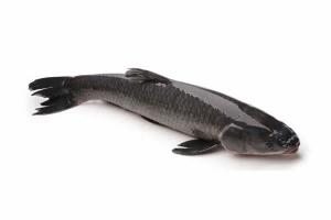 Cá trắm đen thượng hạng